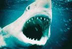 Das nächste Opfer schon im Visier! Der weiße Hai
