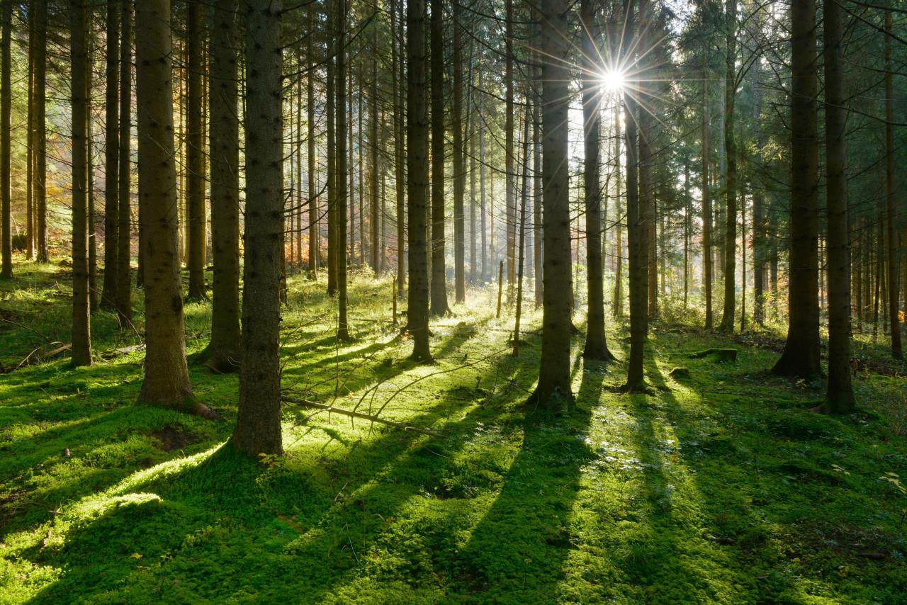 Die Fichte Wunderwaffe Aus Dem Wald