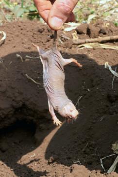 Den Bauern in seinem Lebensraum, den heißen Halbwüsten Ostafrikas, gilt das Nagetier als Schädling.