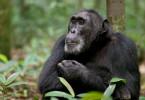 Parker, einer der Ngogo-Schimpansen: Forscher beschreiben die Gruppe als dreimal so groß wie herkömmliche Familien.