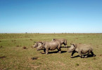 Nashörner im Visier Der illegale Handel mit Nashorn-Hörnern könnte eine der ältesten Spezies der Welt ausrotten.