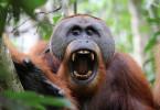 Den Orang-Utans auf Sumatra geht es schlecht. Nur noch 15 000 Tiere leben auf der Insel. Ihr Lebensraum schwindet dramatisch.