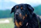 Der Mongolische Bankhar ist eine der ältesten Hunderassen der Welt. Bankhars hüten ihre Herden im Winter sogar ganz allein und verteidigen den Schaf- und Ziegenbestand sogar gegen Wolfsrudel.