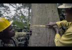Damit sich der Regenwald nach dem Holzeinschlag wieder erholen kann, dürfen nur Bäume mit einem bestimmten Durchmesser gefällt werden.