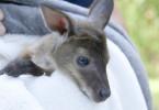 Kängurubaby Lizzy