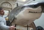 Es gibt viele weiße Haie, die im Mittelmeer gefangen werden.