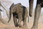 Junger Elefant nach dem Ganzkörper-Schlammbad