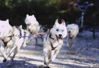 Four huskies running in the Forest of Dean.