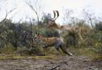 Fuchs und Damhirsch teilen sich den Lebensraum in der Dünenlandschaft.