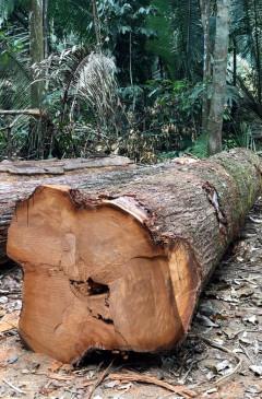 Frisch geschlagene Bäume in der Nähe von Campo Novo im Bundesstaat Rondonia