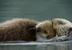 Ein Seeotter-Weibchen mit seinem Jungen.