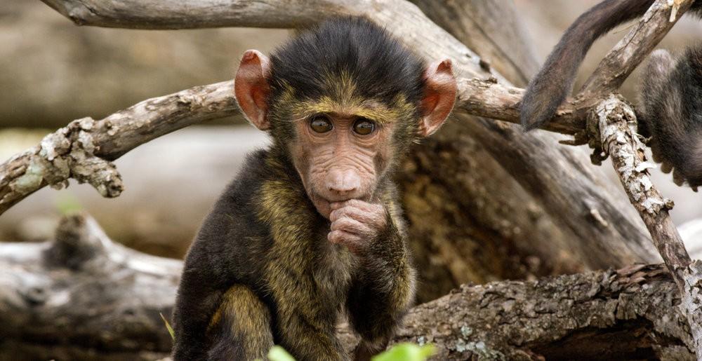 Ohne seine Mutter kann ein Pavian-Baby nicht lange überleben.